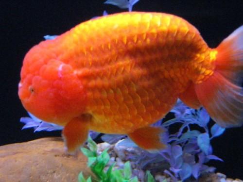 Pesci d 39 acquario d 39 acqua dolce for Pesci rossi acquario
