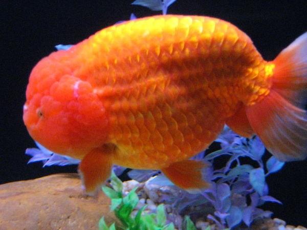 Concorso di bellezza per pesci rossi vanity farm for Pesce rosso razza