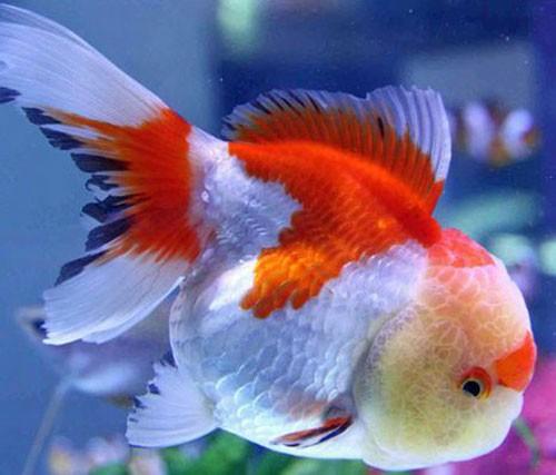 разновидности золотых рыбок и фото