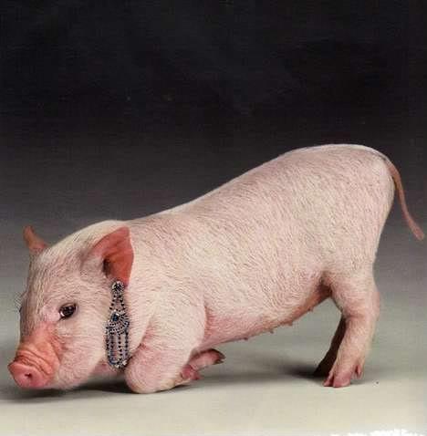 Conosciuto Un maialino indossa gioielli per una campagna su Vogue Russia  SE81